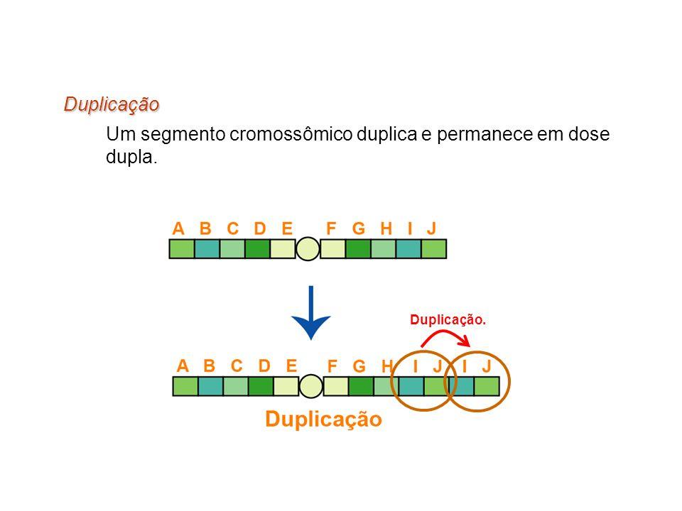 Um segmento cromossômico duplica e permanece em dose dupla.