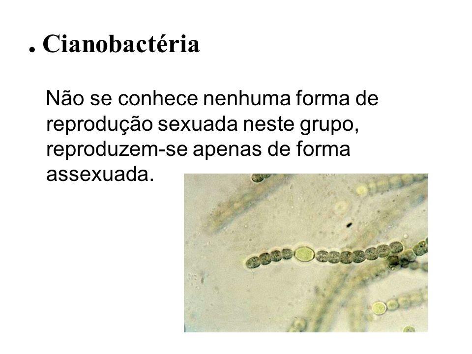 . CianobactériaNão se conhece nenhuma forma de reprodução sexuada neste grupo, reproduzem-se apenas de forma assexuada.