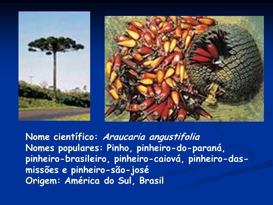 Nome científico: Araucaria angustifolia Nomes populares: Pinho, pinheiro-do-paraná, pinheiro-brasileiro, pinheiro-caiová, pinheiro-das-missões e pinheiro-são-josé Origem: América do Sul, Brasil
