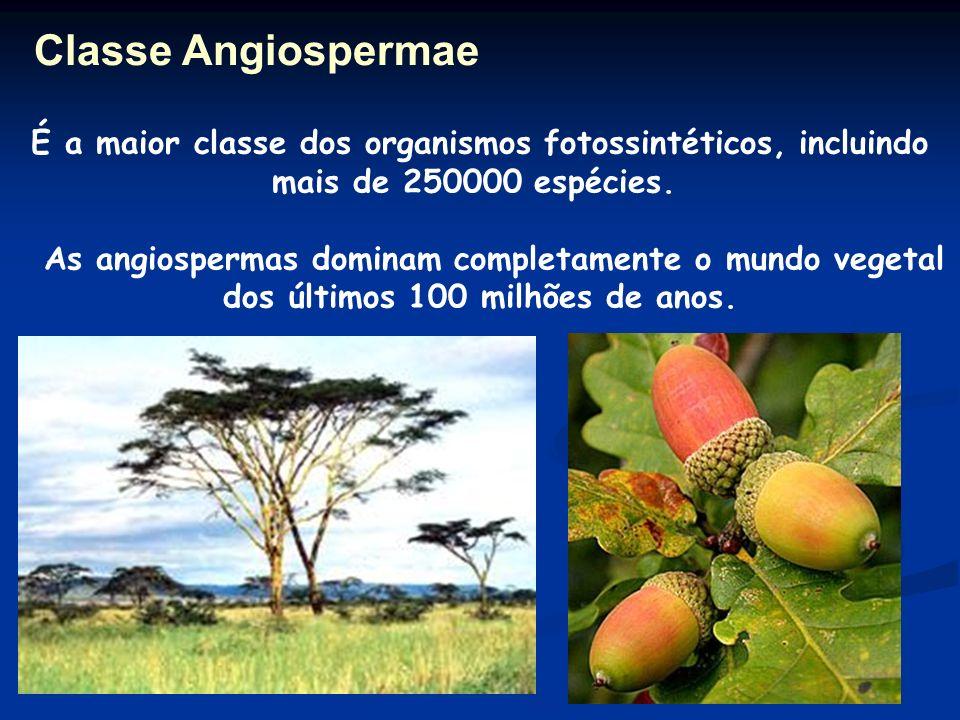 Classe Angiospermae É a maior classe dos organismos fotossintéticos, incluindo mais de 250000 espécies.