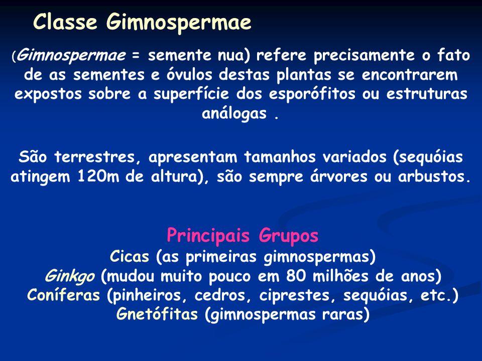 Classe Gimnospermae Principais Grupos