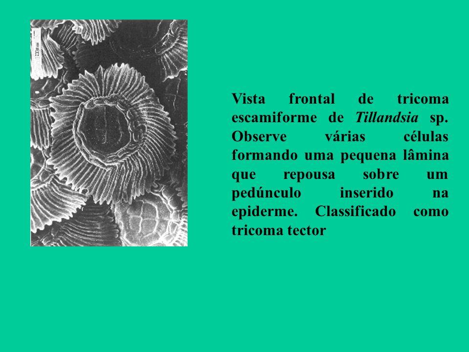 Vista frontal de tricoma escamiforme de Tillandsia sp