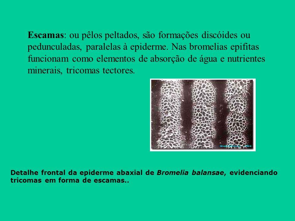 Escamas: ou pêlos peltados, são formações discóides ou pedunculadas, paralelas à epiderme. Nas bromelias epifitas funcionam como elementos de absorção de água e nutrientes minerais, tricomas tectores.