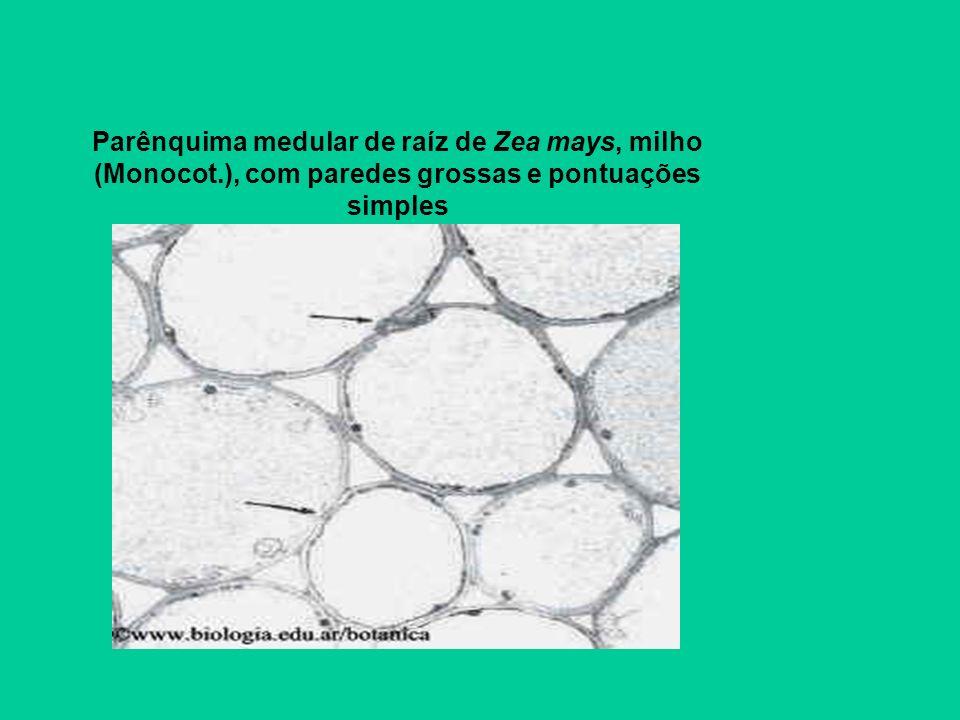 Parênquima medular de raíz de Zea mays, milho (Monocot