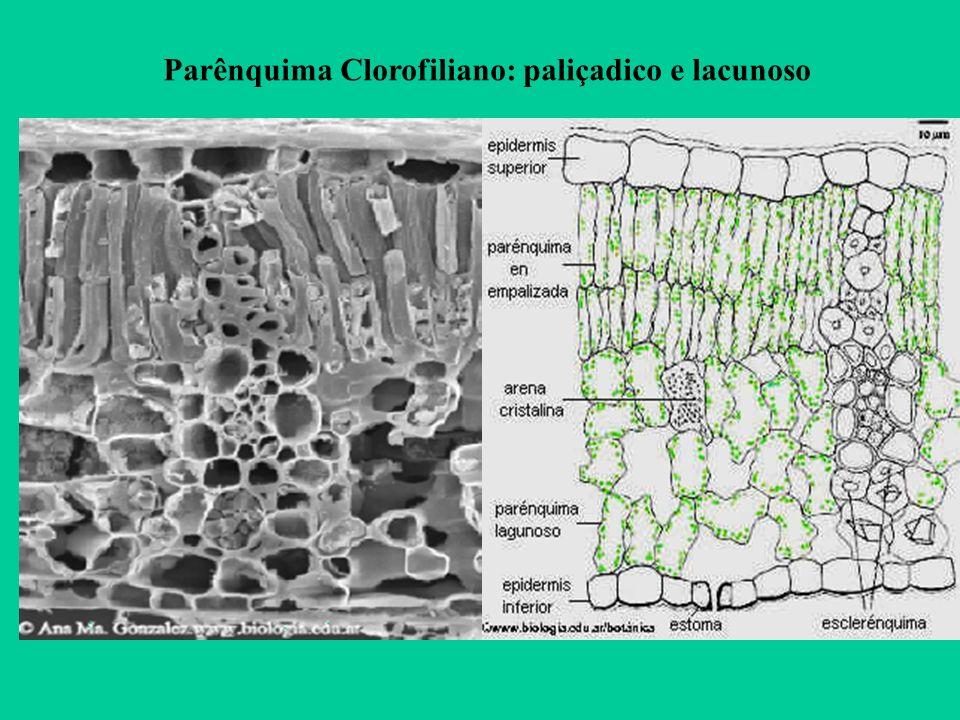 Parênquima Clorofiliano: paliçadico e lacunoso