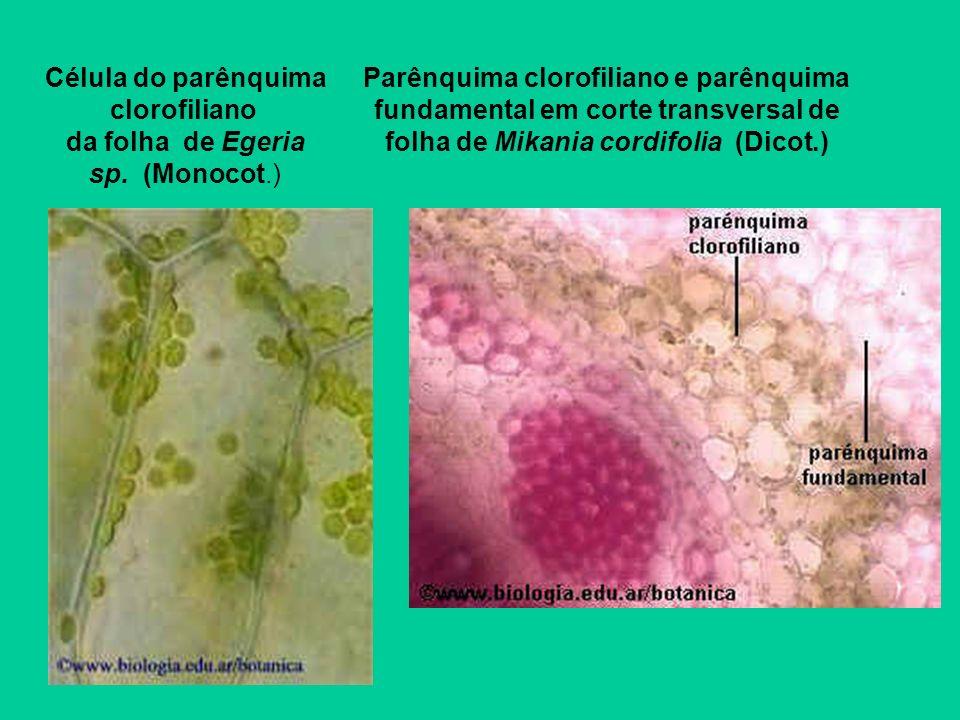 Célula do parênquima clorofiliano da folha de Egeria sp. (Monocot.)