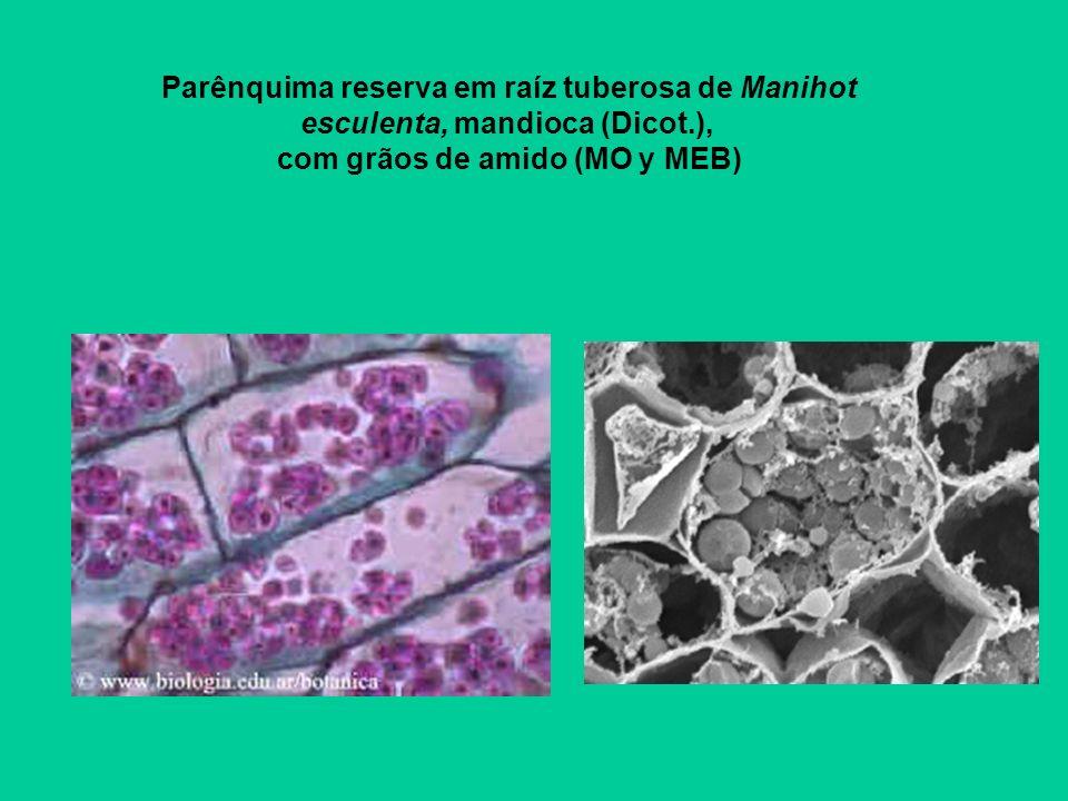 Parênquima reserva em raíz tuberosa de Manihot esculenta, mandioca (Dicot.), com grãos de amido (MO y MEB)