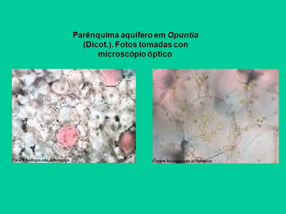 Parênquima aquífero em Opuntia (Dicot. )