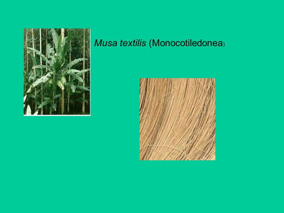 Musa textilis (Monocotiledonea)
