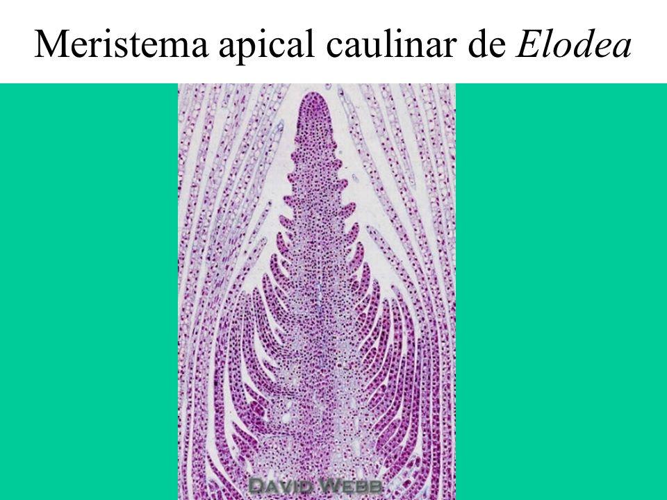 Meristema apical caulinar de Elodea