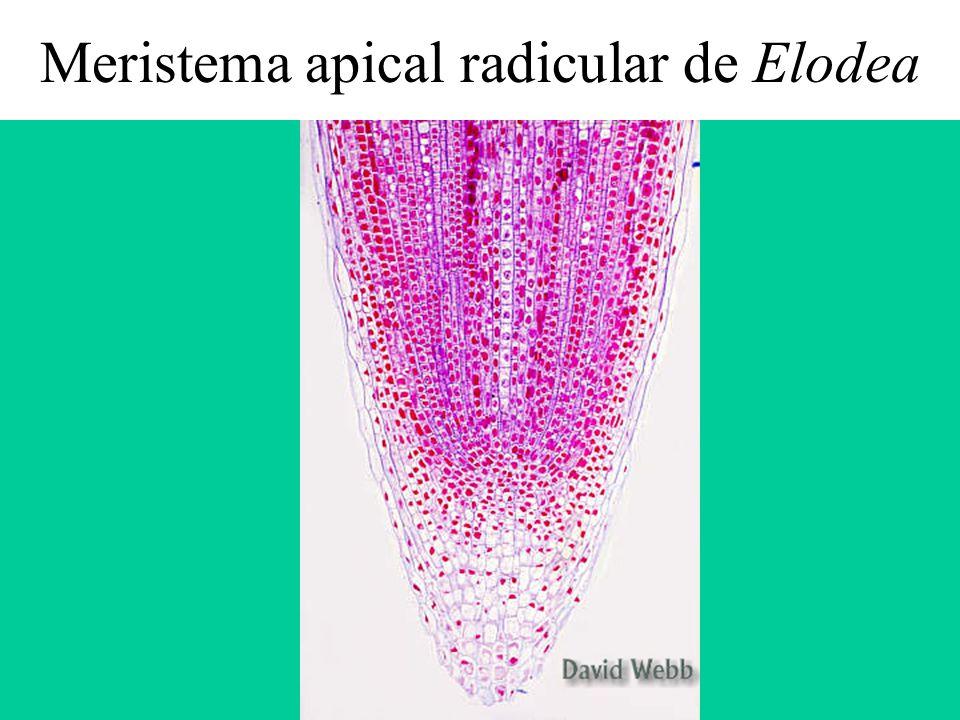 Meristema apical radicular de Elodea