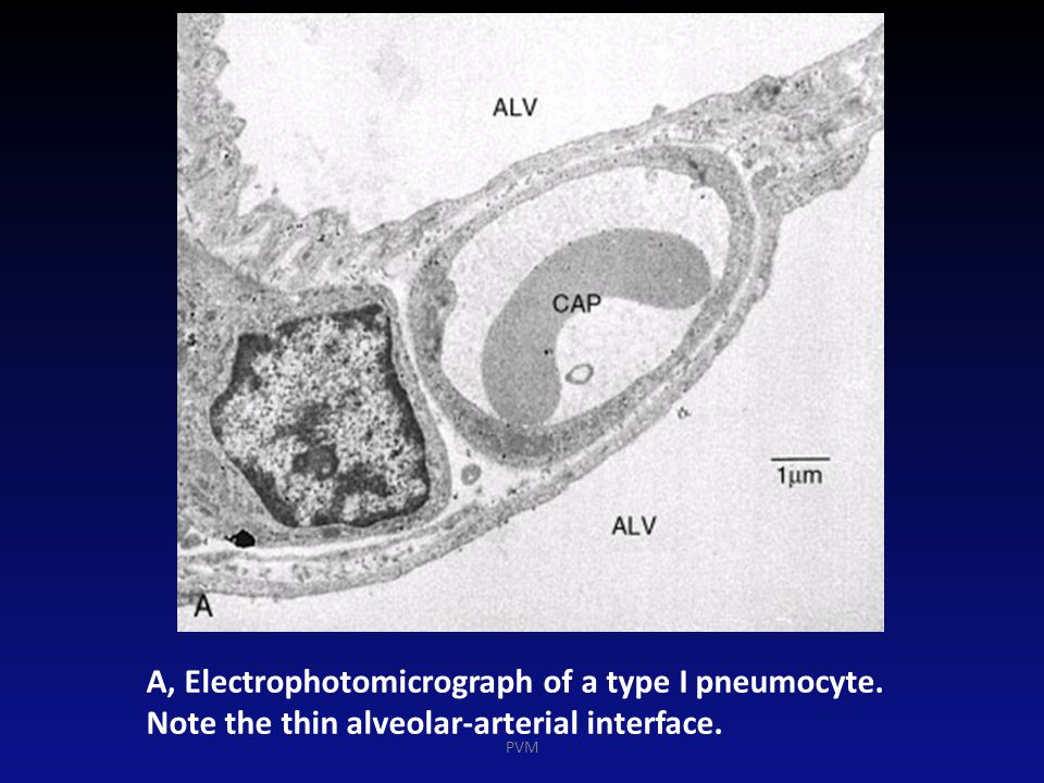 A, Electrophotomicrograph of a type I pneumocyte