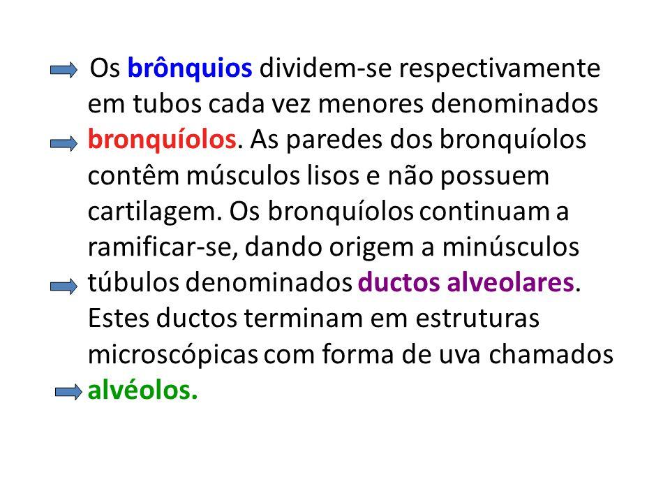 Os brônquios dividem-se respectivamente em tubos cada vez menores denominados bronquíolos.