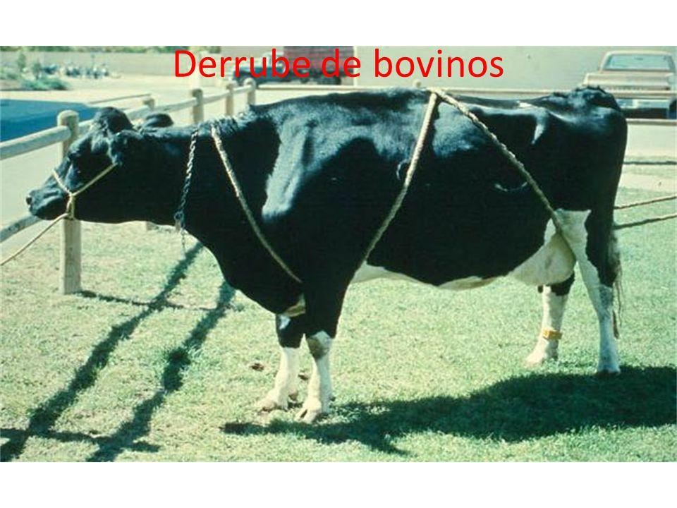 Derrube de bovinos