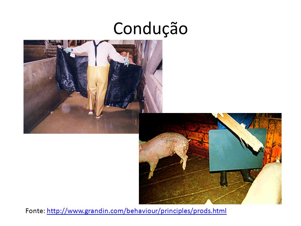 Condução Fonte: http://www.grandin.com/behaviour/principles/prods.html