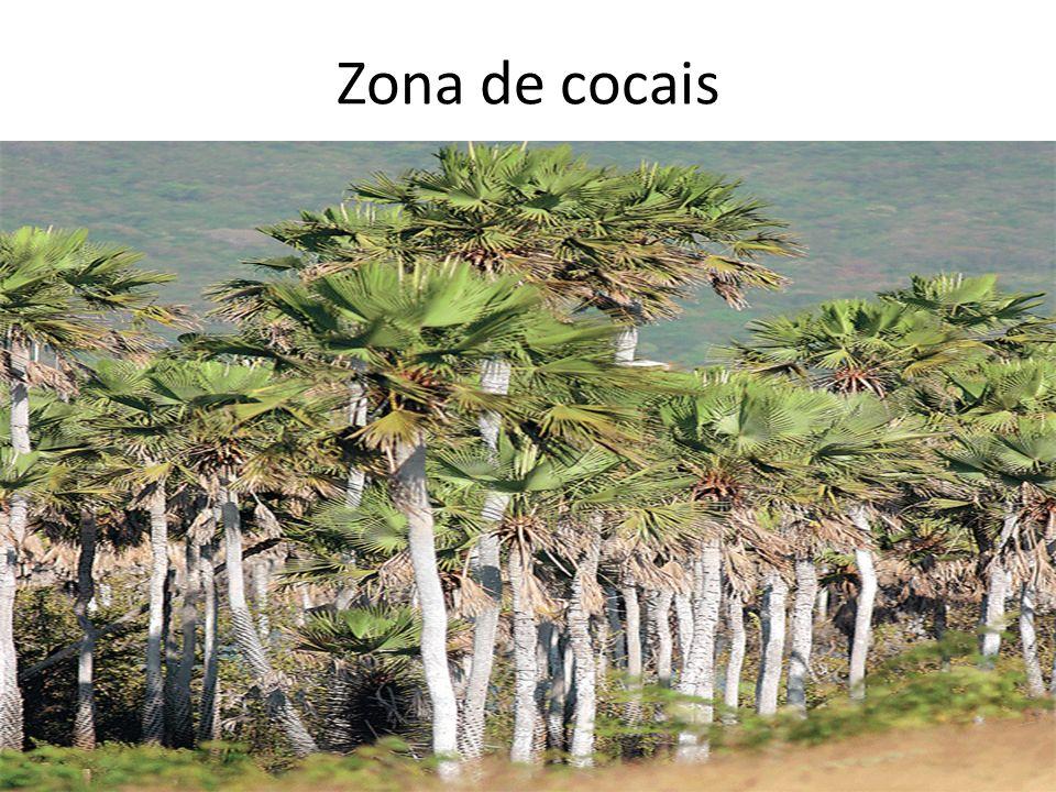 Zona de cocais FABIO COLOMBINI.