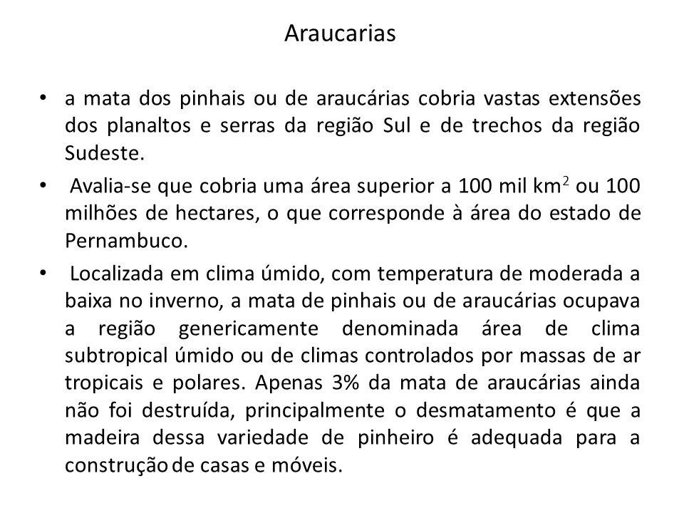 Araucarias a mata dos pinhais ou de araucárias cobria vastas extensões dos planaltos e serras da região Sul e de trechos da região Sudeste.