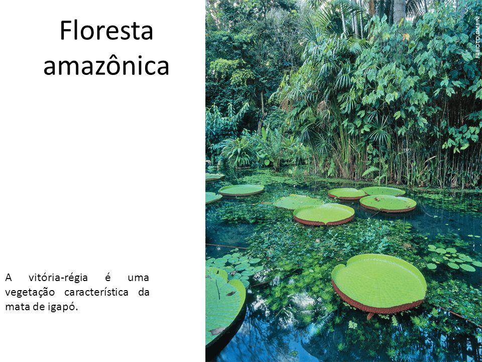 Floresta amazônica FABIO COLOMBINI A vitória-régia é uma vegetação característica da mata de igapó.