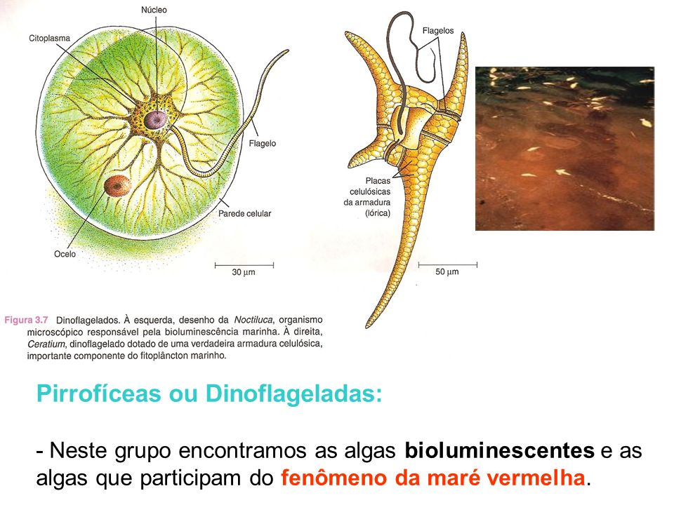 Pirrofíceas ou Dinoflageladas: