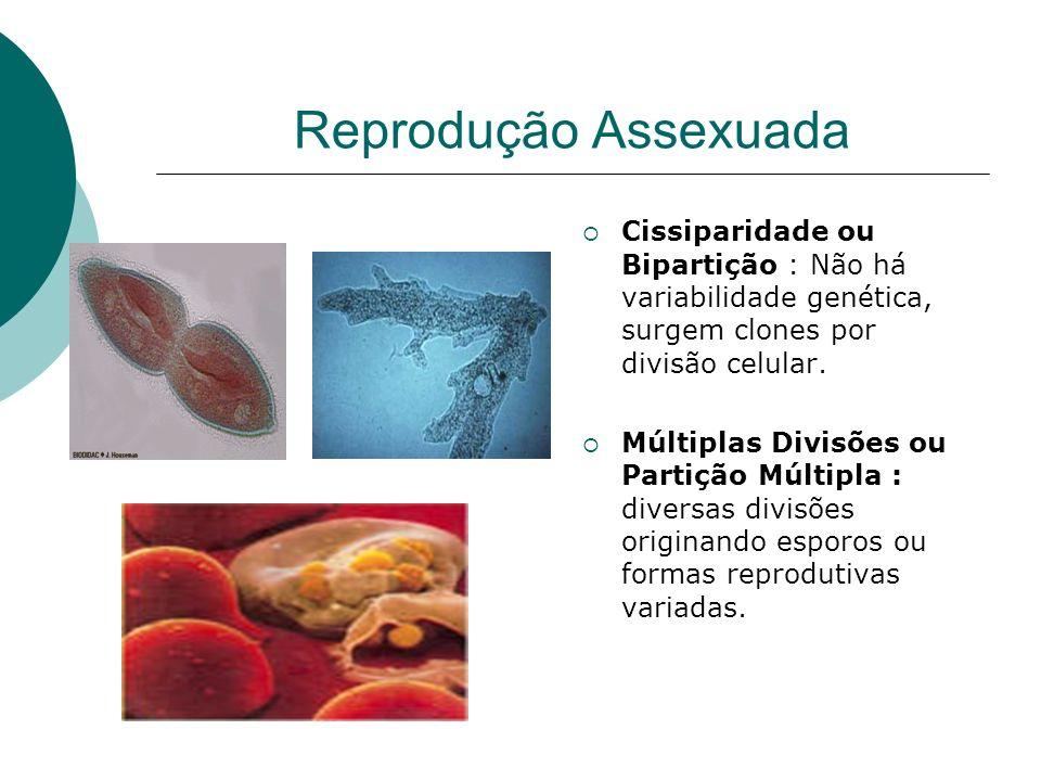 Reprodução Assexuada Cissiparidade ou Bipartição : Não há variabilidade genética, surgem clones por divisão celular.