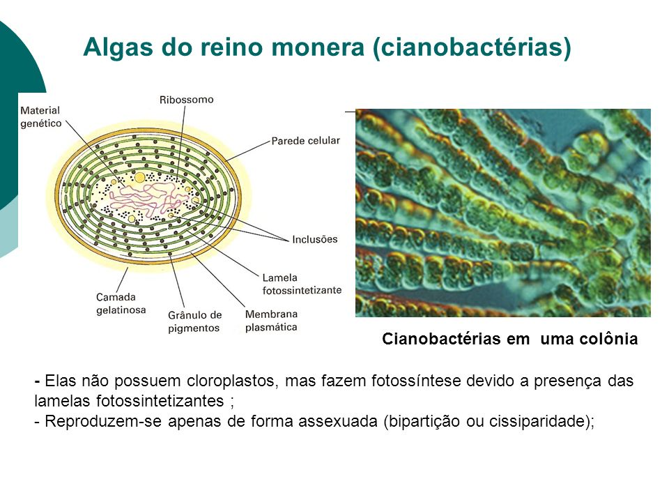 Algas do reino monera (cianobactérias)