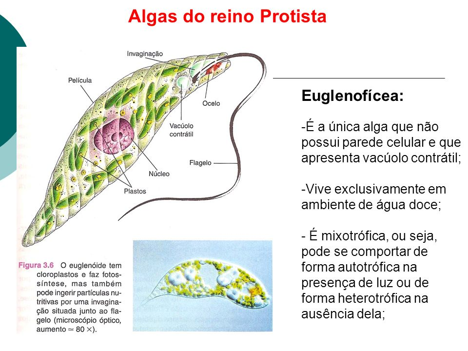 Algas do reino Protista