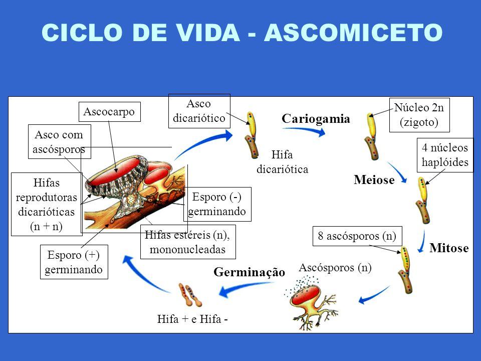 CICLO DE VIDA - ASCOMICETO