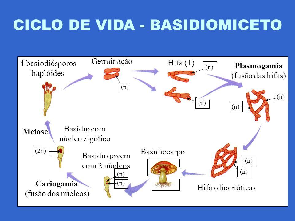 CICLO DE VIDA - BASIDIOMICETO