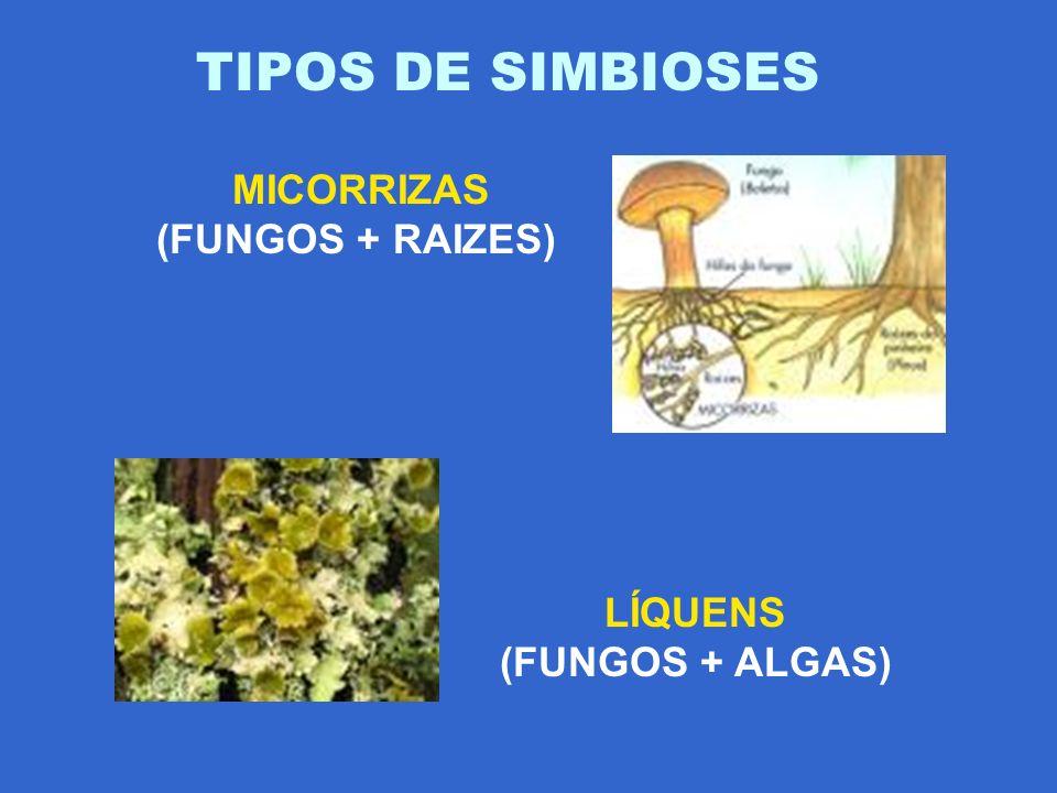 MICORRIZAS (FUNGOS + RAIZES) LÍQUENS (FUNGOS + ALGAS)