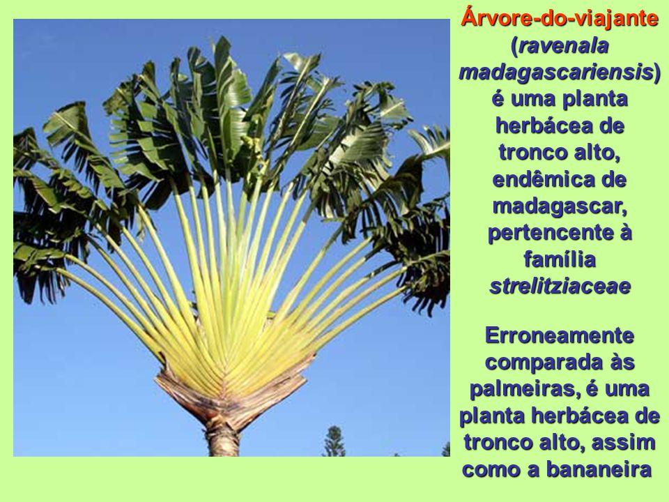 Árvore-do-viajante (ravenala madagascariensis) é uma planta herbácea de tronco alto, endêmica de madagascar, pertencente à família strelitziaceae