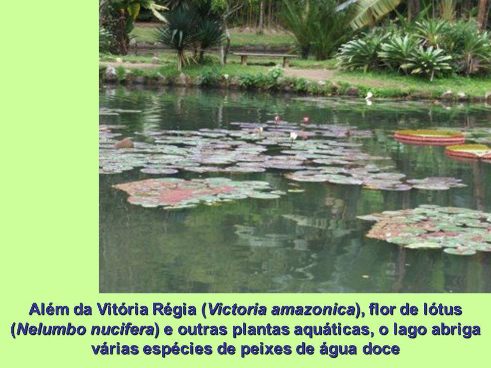 Além da Vitória Régia (Victoria amazonica), flor de lótus (Nelumbo nucifera) e outras plantas aquáticas, o lago abriga várias espécies de peixes de água doce