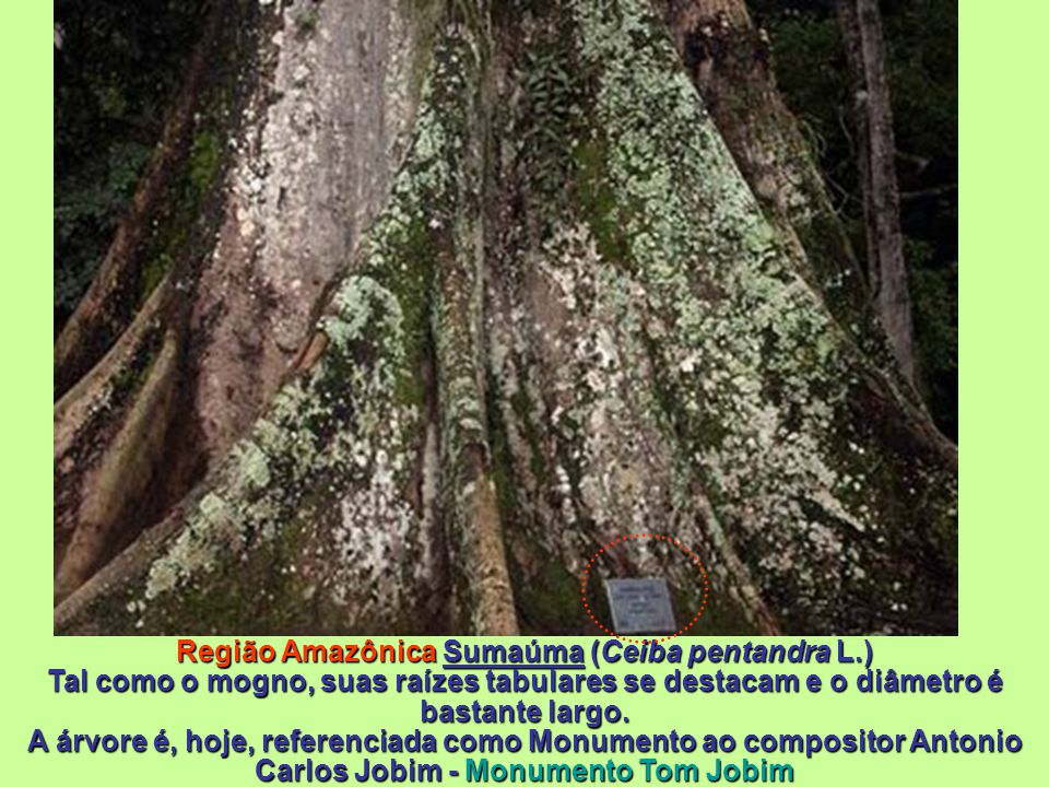 Região Amazônica Sumaúma (Ceiba pentandra L
