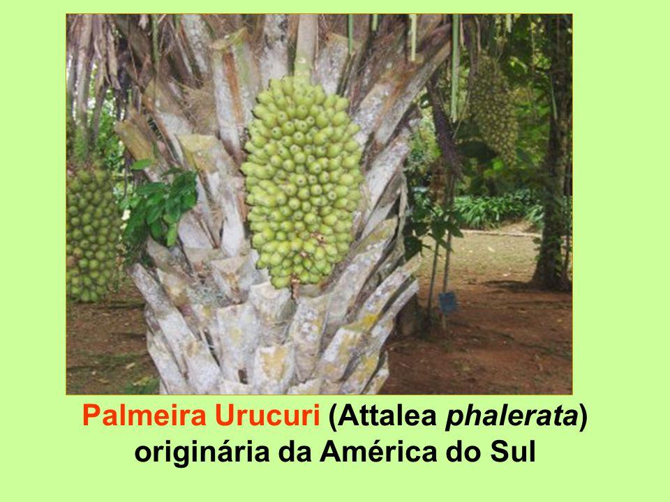 Palmeira Urucuri (Attalea phalerata) originária da América do Sul
