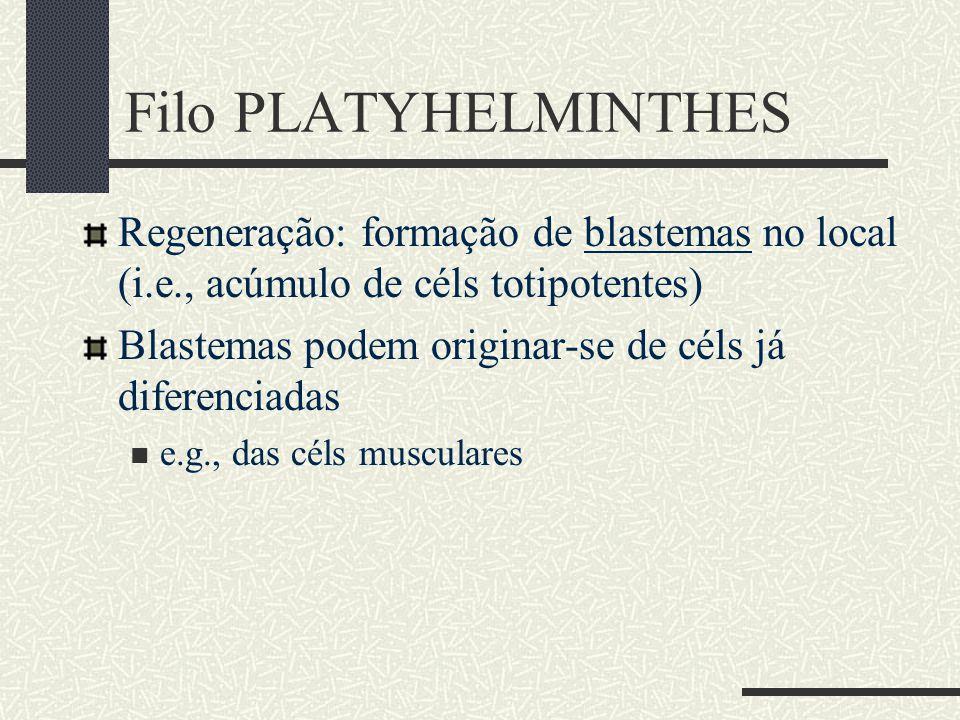 Filo PLATYHELMINTHES Regeneração: formação de blastemas no local (i.e., acúmulo de céls totipotentes)