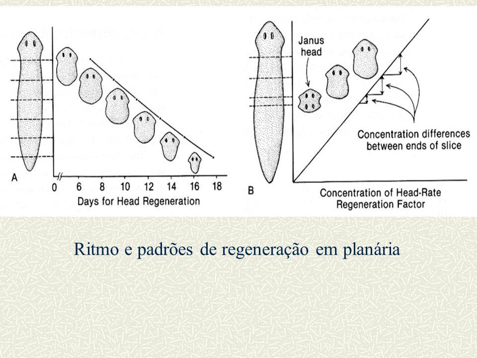 Ritmo e padrões de regeneração em planária