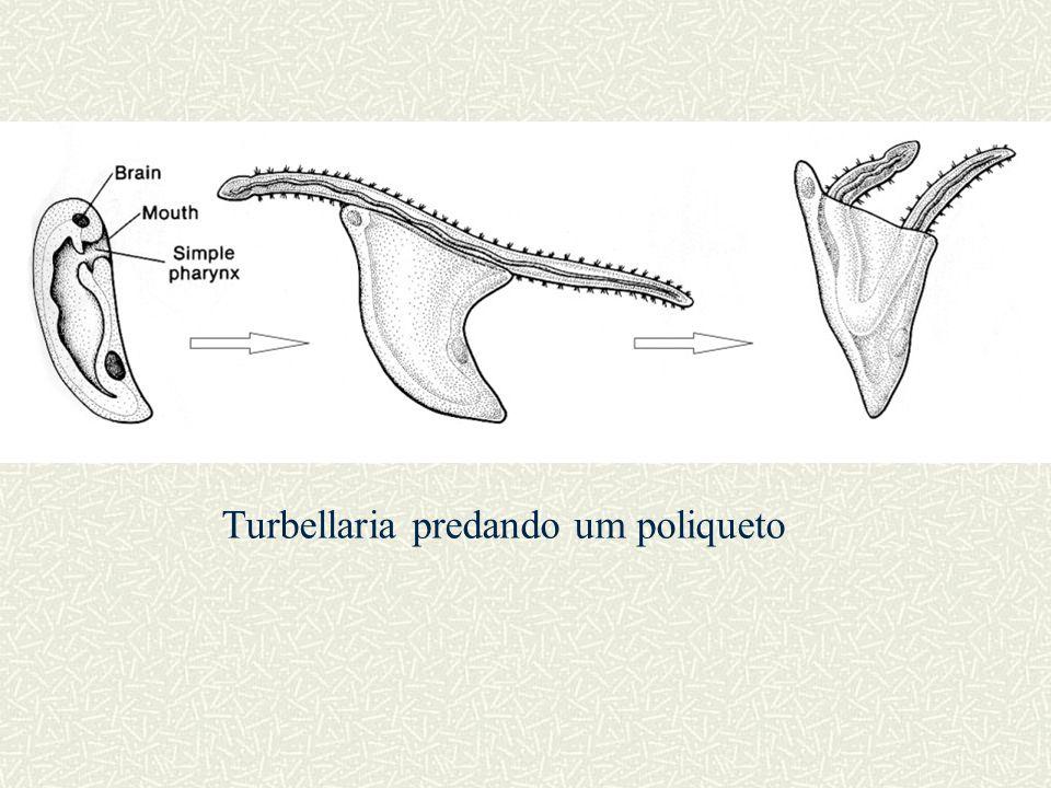 Turbellaria predando um poliqueto