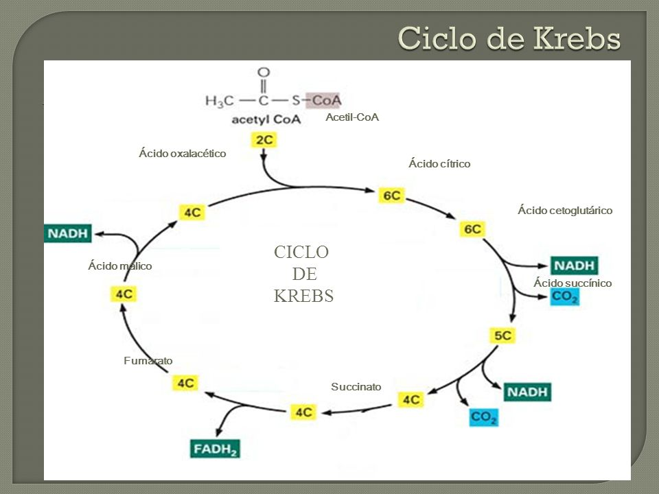 Ciclo de Krebs CICLO DE KREBS Acetil-CoA Ácido oxalacético
