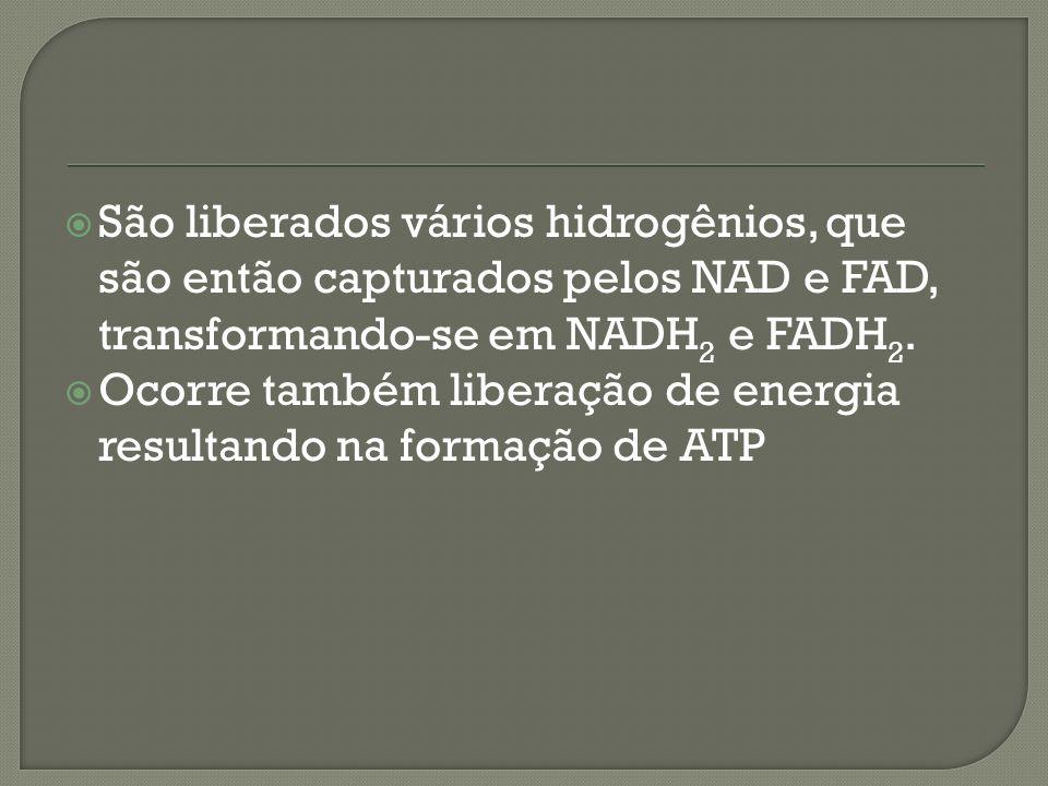 São liberados vários hidrogênios, que são então capturados pelos NAD e FAD, transformando-se em NADH2 e FADH2.