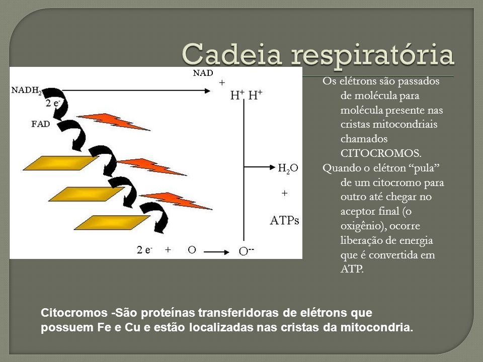Cadeia respiratória Os elétrons são passados de molécula para molécula presente nas cristas mitocondriais chamados CITOCROMOS.