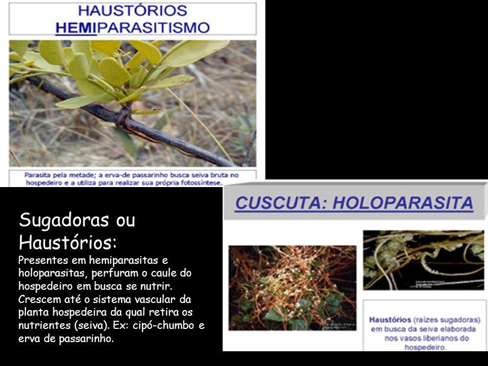 Sugadoras ou Haustórios: Presentes em hemiparasitas e holoparasitas, perfuram o caule do hospedeiro em busca se nutrir.