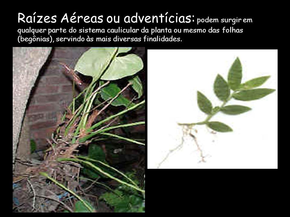 Raízes Aéreas ou adventícias: podem surgir em qualquer parte do sistema caulicular da planta ou mesmo das folhas (begônias), servindo às mais diversas finalidades.
