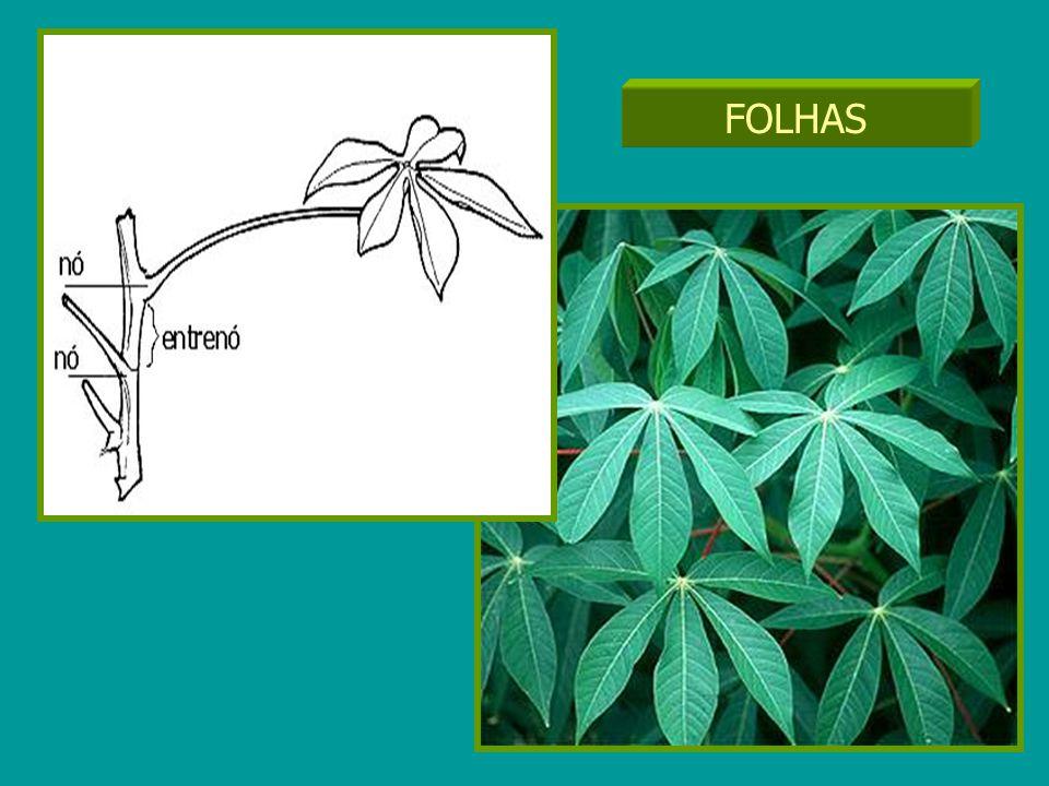 FOLHAS Inserção das folhas