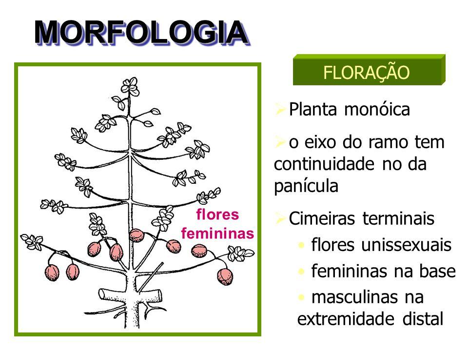 MORFOLOGIA FLORAÇÃO Planta monóica