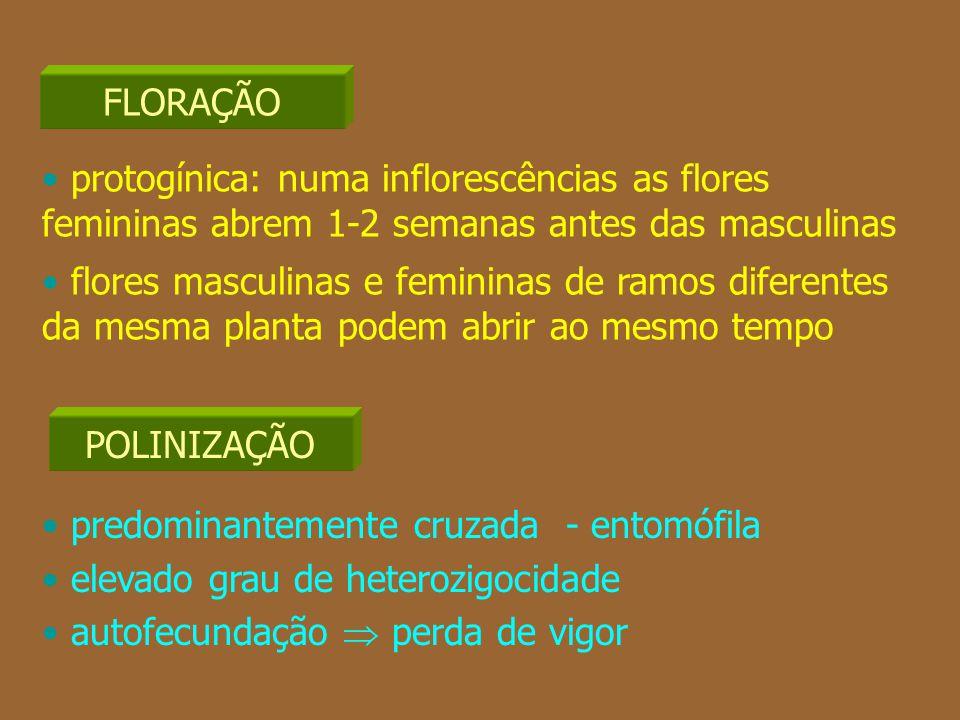 protogínica: numa inflorescências as flores femininas abrem 1-2 semanas antes das masculinas