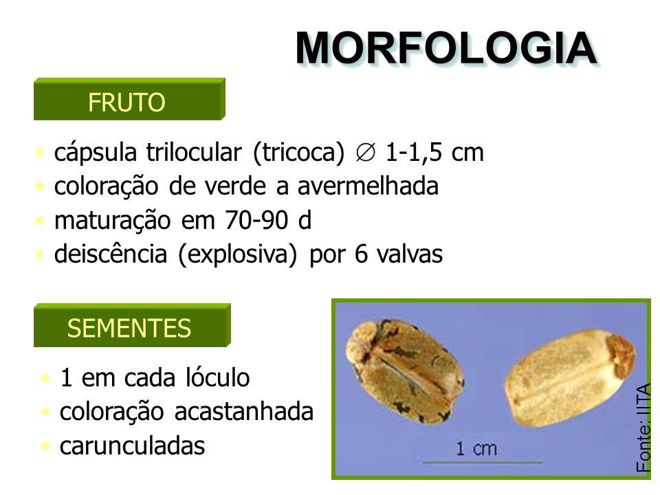 MORFOLOGIA FRUTO cápsula trilocular (tricoca)  1-1,5 cm