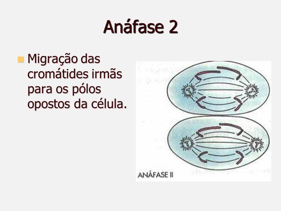 Anáfase 2 Migração das cromátides irmãs para os pólos opostos da célula.