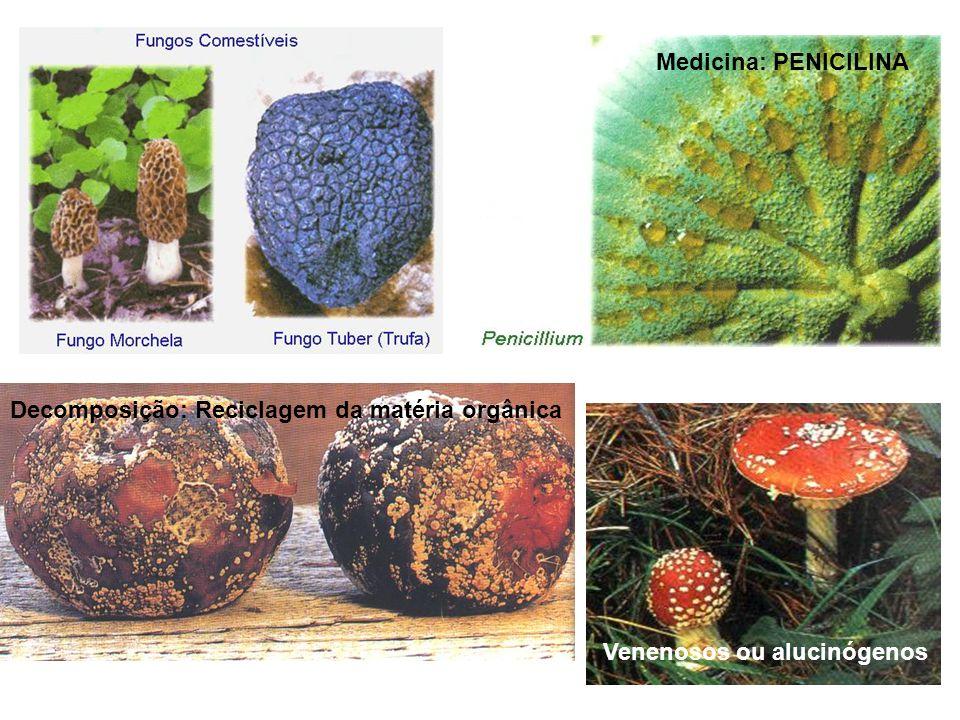 Medicina: PENICILINA Decomposição: Reciclagem da matéria orgânica Venenosos ou alucinógenos