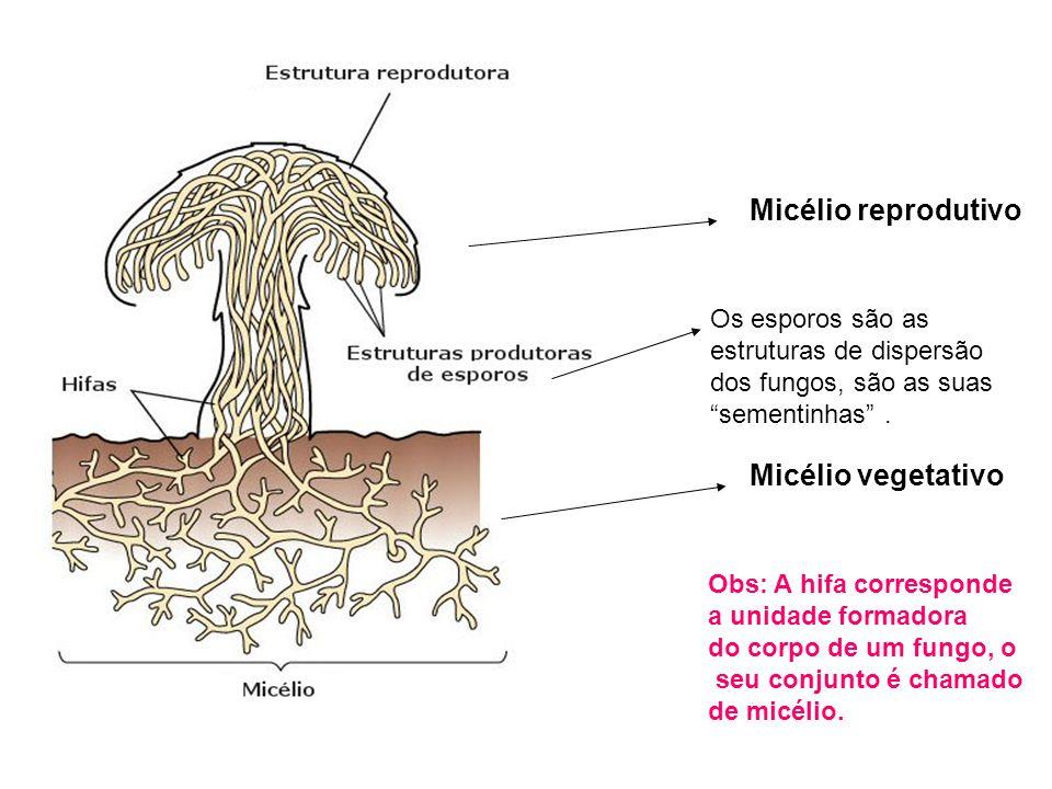 Micélio reprodutivo Micélio vegetativo Os esporos são as