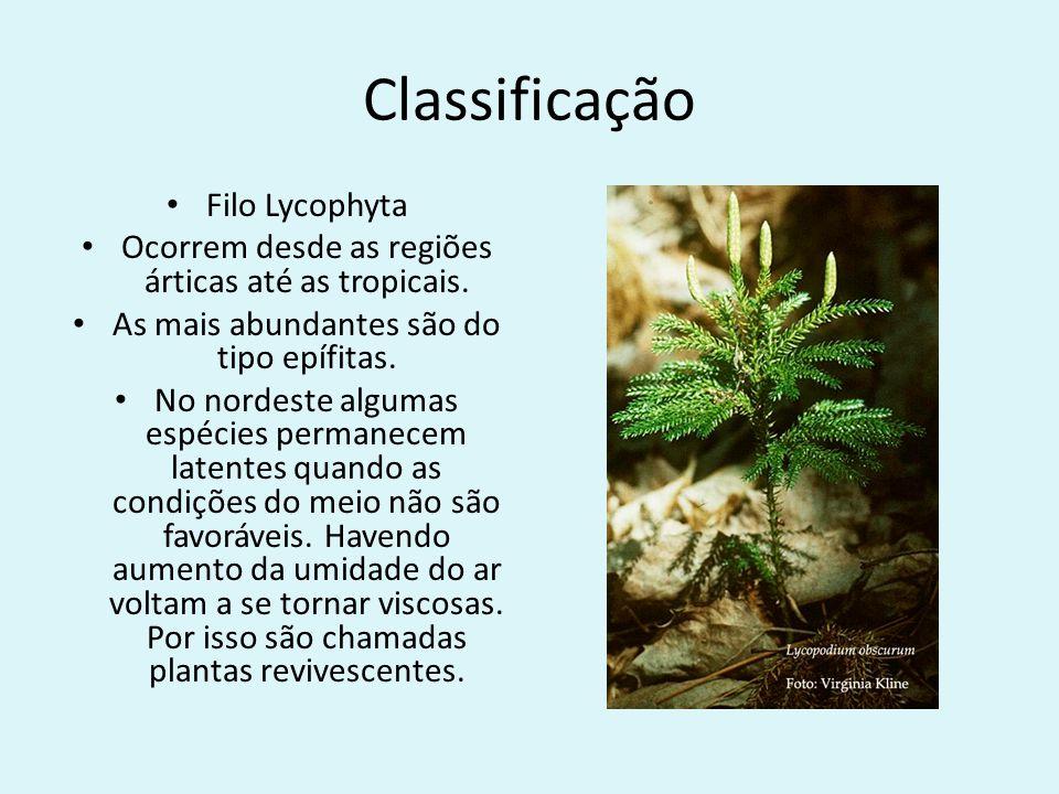 Classificação Filo Lycophyta