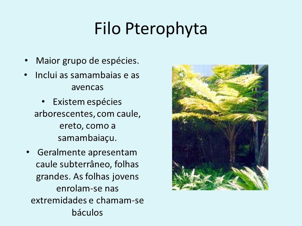 Filo Pterophyta Maior grupo de espécies.